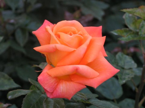 Rose2