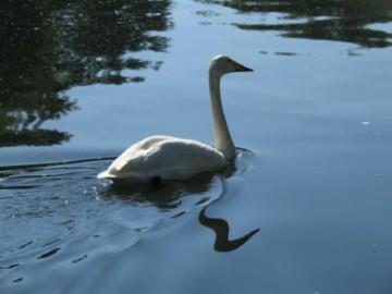 swan in Regents Park