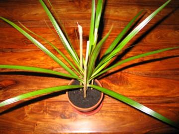 yukka plant rejuvenated!